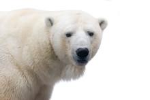 Polar Bear Isolated On White