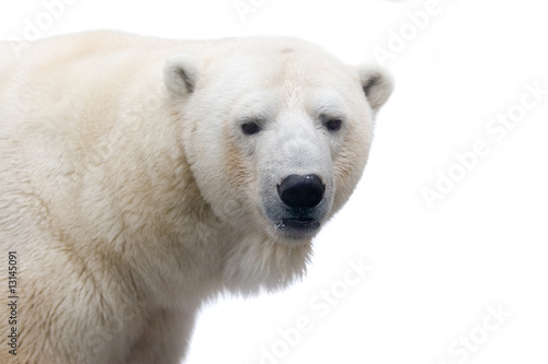 Recess Fitting Pole Polar bear isolated on white