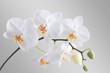 Leinwanddruck Bild - Orchidee
