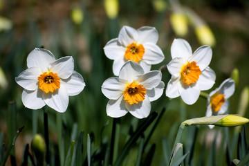 narcissus (genus)
