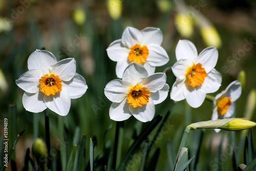 Papiers peints Narcisse narcissus (genus)