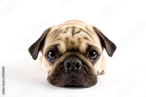 Fototapeta puppy pug closeup obraz na płótnie