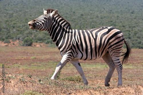Papiers peints Hyène Zebra Scenting Air