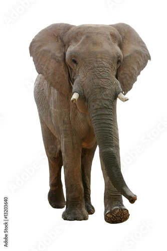 African Elephant - Isolated Wallpaper Mural