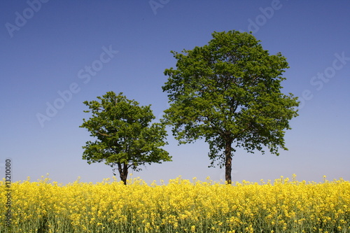 Doppelrollo mit Motiv - Rapsfeld und zwei Bäume (von Christian Pedant)