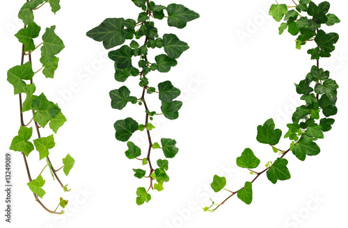 three different green ivy twigs isolated on a white background Fototapeta