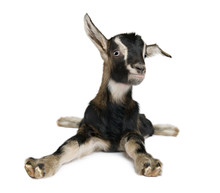 Young Goat (3weeks Old)