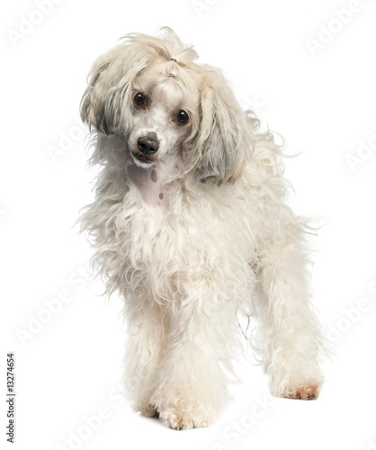 Chinese Crested Dog - Powderpuff (1 year old) - Buy this