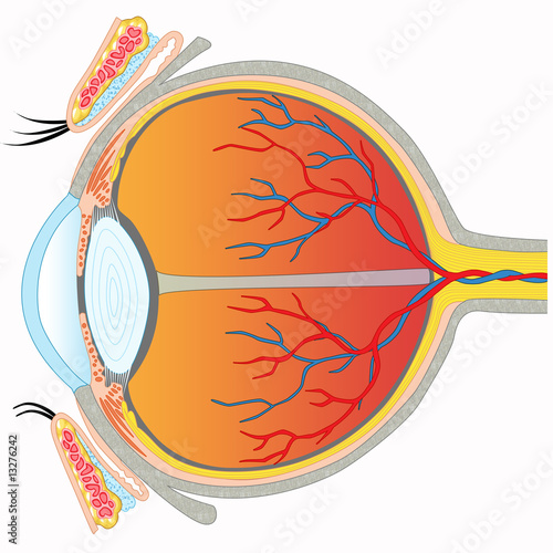 Eye anatomy - Cross section view – kaufen Sie diese Illustration und ...