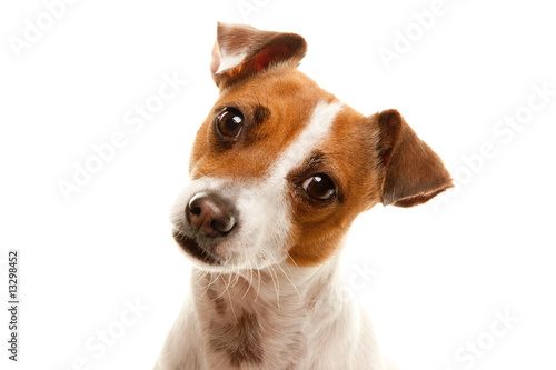 Fototapeta  Portait of an Adorable Jack Russell Terrier