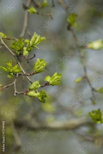 Printed kitchen splashbacks Birch Grove Hawthorn Buds Open