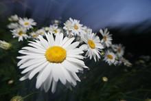 Beautiful Daisy Flower Field Night