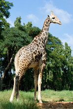 Full Length Body Picture Of A Giraffe With Trees