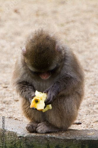 Wall Murals Monkey Monkey eating apple