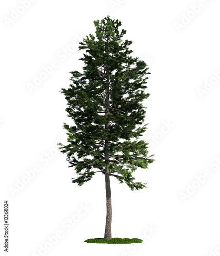 Fotografia, Obraz  isolated tree on white, Scots Pine (Pinus sylvestris)