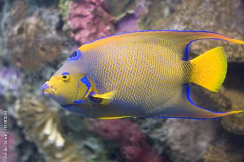 Fotografie, Obraz  Queen Angelfish
