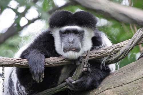 Lazy Colobus Monkey Wallpaper Mural