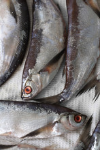 Sabrefish (Pelecus Cultratus)