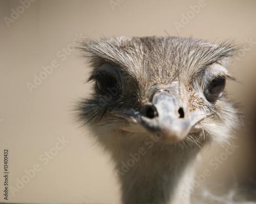 Staande foto Struisvogel Struzzo Africano - Struthio Camelus