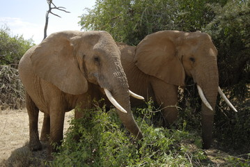 FototapetaAfrican Bush Elephant (Loxodonta africana) at Samburu park