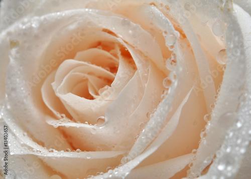 Naklejka na szafę z białą różą i  poranną rosą