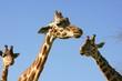 Giraffe portrait, head and neck over blue sky