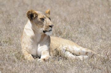 Panel Szklany Lew Lioness (Panthera leo), Samburu park, Kenya