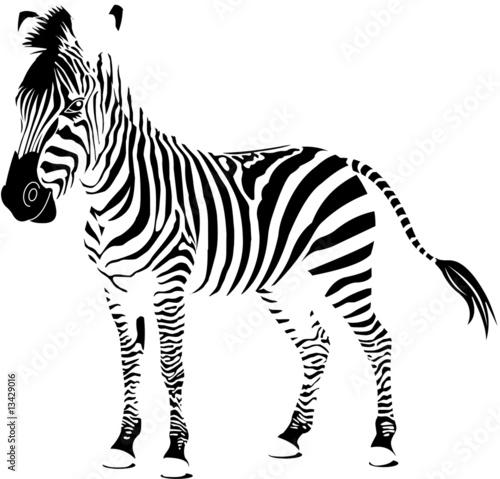 sylwetka-zebry