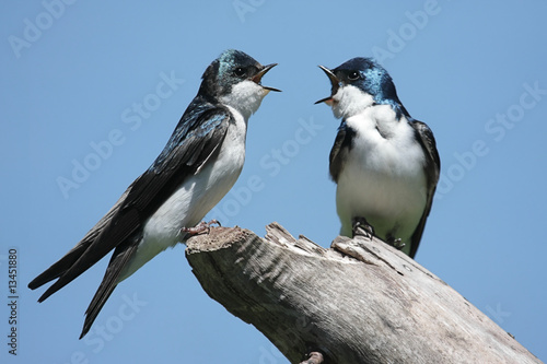 Photo  Pair of Tree Swallows on a stump