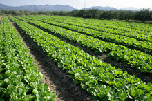 Green Leaf Vegetable Fields