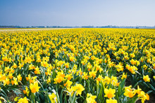 Field With Yellow Daffodils In...