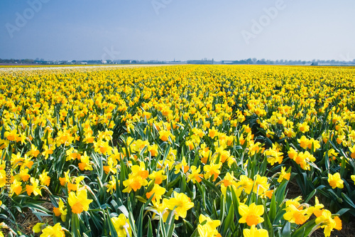 Deurstickers Narcis Field with yellow daffodils in april