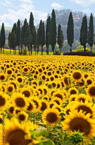 Deurstickers Toscane Sonnenblumenfeld in der Toskana