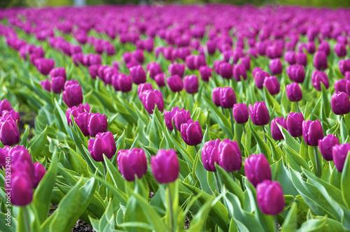 Foto auf Gartenposter Tulpen tulips