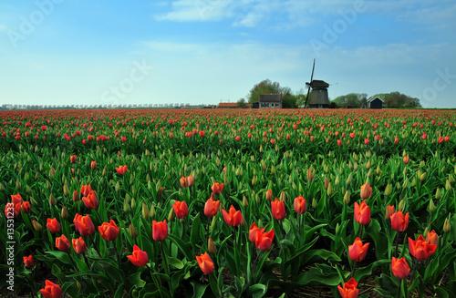 Foto op Plexiglas Molens tulips and windmill