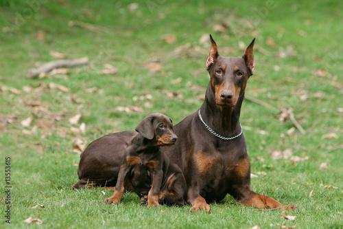 Valokuva dobermann tres fiere et son petit en plein repos dans le jardin