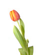 canvas print picture tulpe