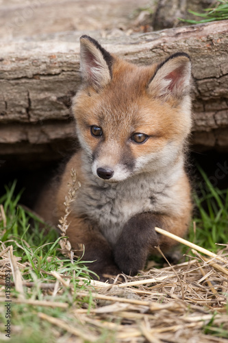 Red Fox in British Countryside Wallpaper Mural