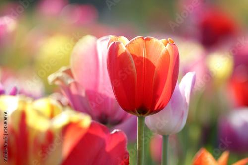 Deurstickers Tulp tulpen