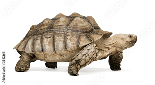 Poster Tortue African Spurred Tortoise - Geochelone sulcata