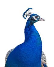 Peacock Portrait Cutout