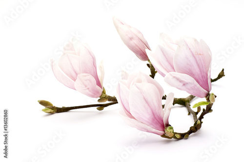 Cadres-photo bureau Magnolia magnolia flower
