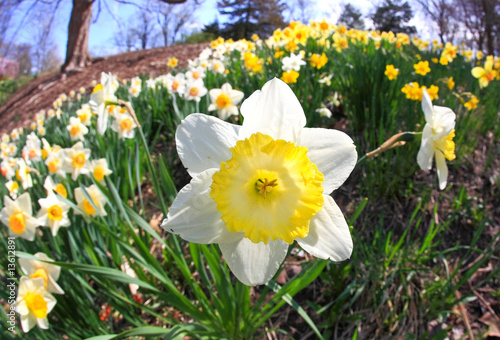 Papiers peints Narcisse The daffodil blooming in spring
