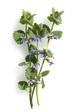 canvas print picture - Gundelrebe, Glechoma, hederacea