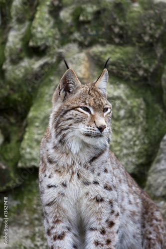 Lynx #13629418