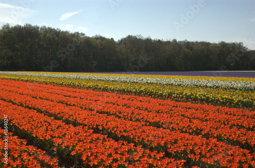 Montage in der Fensternische Tulpen Multi color tulip fields