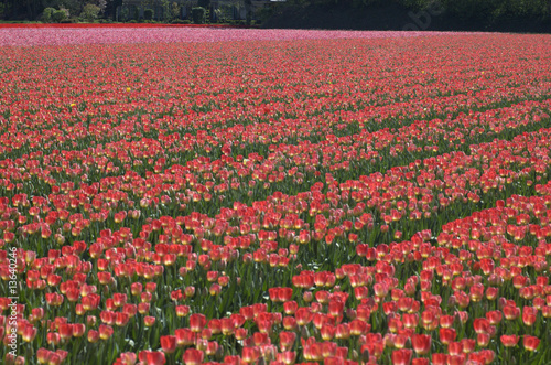 Printed kitchen splashbacks Tulip Pink tulip field