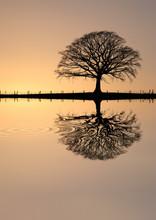 Winter Oak Tree At Sunset