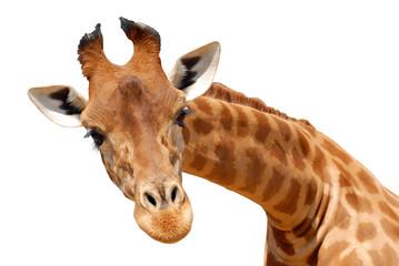FototapetaDétourage du portrait d'une girafe
