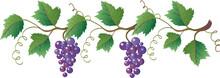 Grapevine With Dark Blue Grapes